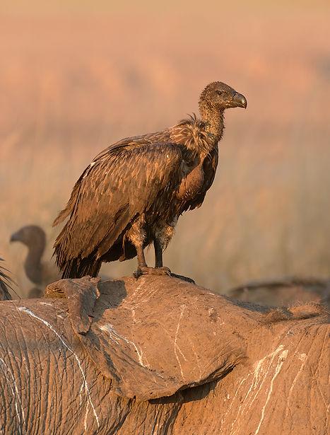 White-Backed Vulture (Witruggier)