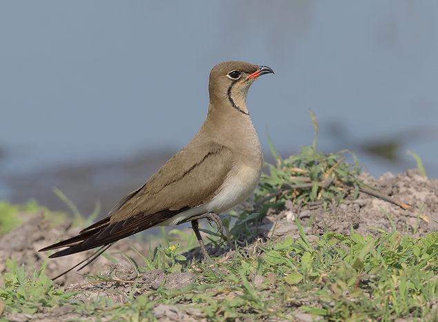 Vogelfotografie, Vorkstaartplevier.