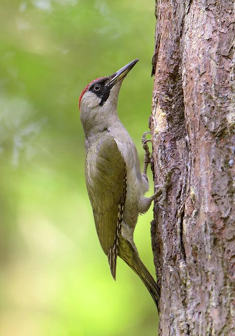 Groene Specht bij nest.