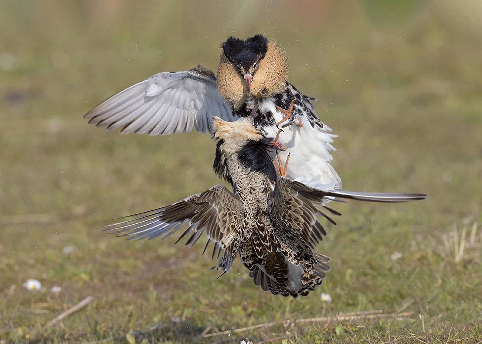 Vogelfotografie, Kemphanen gevecht.