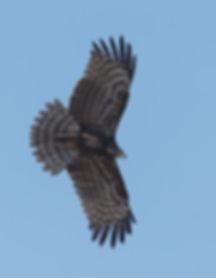 Vogelfotografie Birds in flight Kaalkopkiekendief.