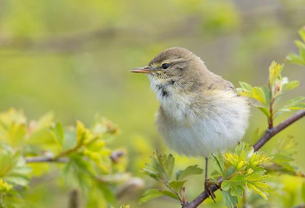 Vogelfotografie Texel.  Fitis.