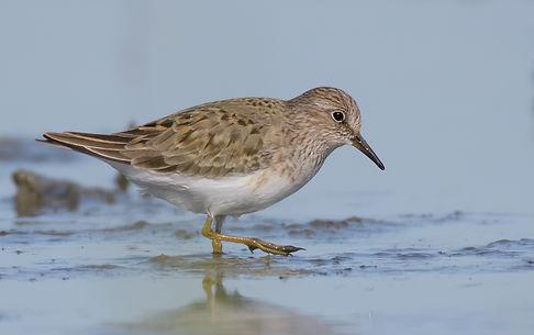 Vogelfotografie Temmincks-Strandloper