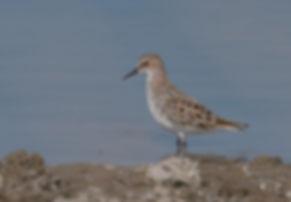 Vogelfotografie Lesbos, Temmincks Strandloper.