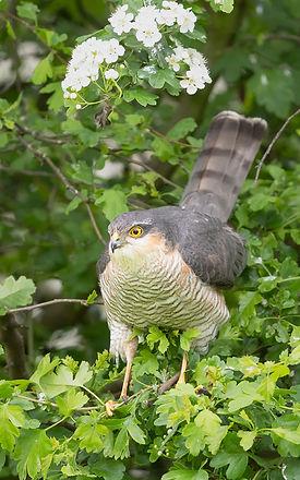 Vogelfotografie Texel.  Sperwer.