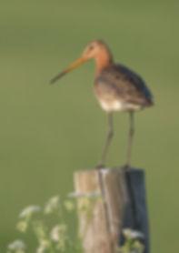 Vogelfotografie Texel. Grutto.