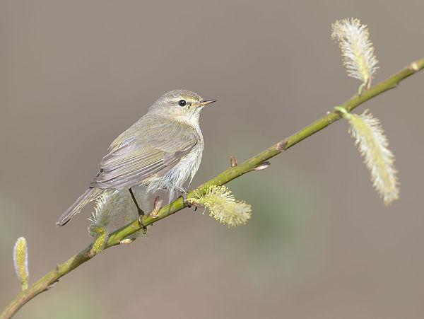 Vogelfotografie, Fitis