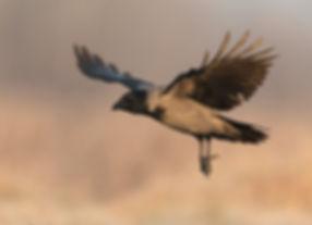 Vogelfotografie, Hongarije,  Bonte Kraai.