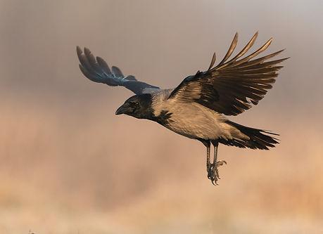 Vogelfotografie, Hongarije,  Bonte-Kraai, Hooded Crow.