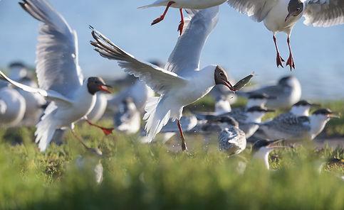 Vogelfotografie, Grote Stern, Kokmeeuw, Texel