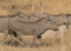 Zambia, Kafue NP, Wrattenzwijn.