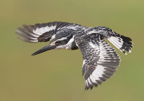 Pied Kingfisher (Bonte IJsvogel)