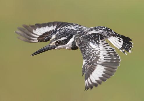 Pied Kingfisher (Bonte IJsvogel)