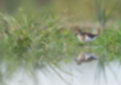 Vogelfotografie, Oeverloper.