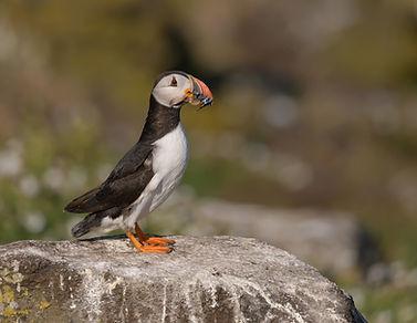 Vogelfotografie Isle of May, Papegaaiduiker.