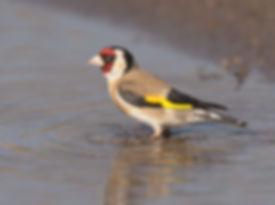Vogelfotografie Lesbos, Putter.