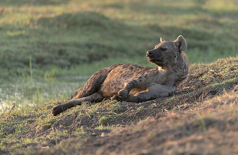Africa, Zambia, Spotted Hyaena alert