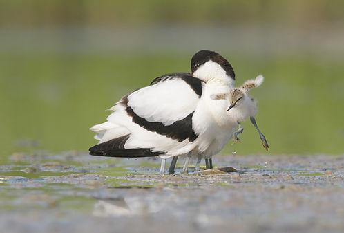 Met een sprong van blijdschap verlaat het jong de veilige plek onder de vleugels van z'n ouder.