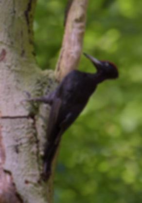Zwarte Specht in boom.