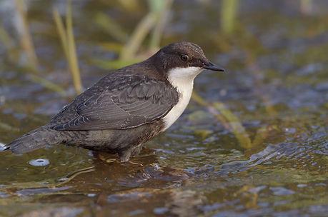 Vogelfotografie Waterspreeuw.