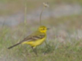 Vogelfotografie Texel. Engelse Gele Kwikstaart.
