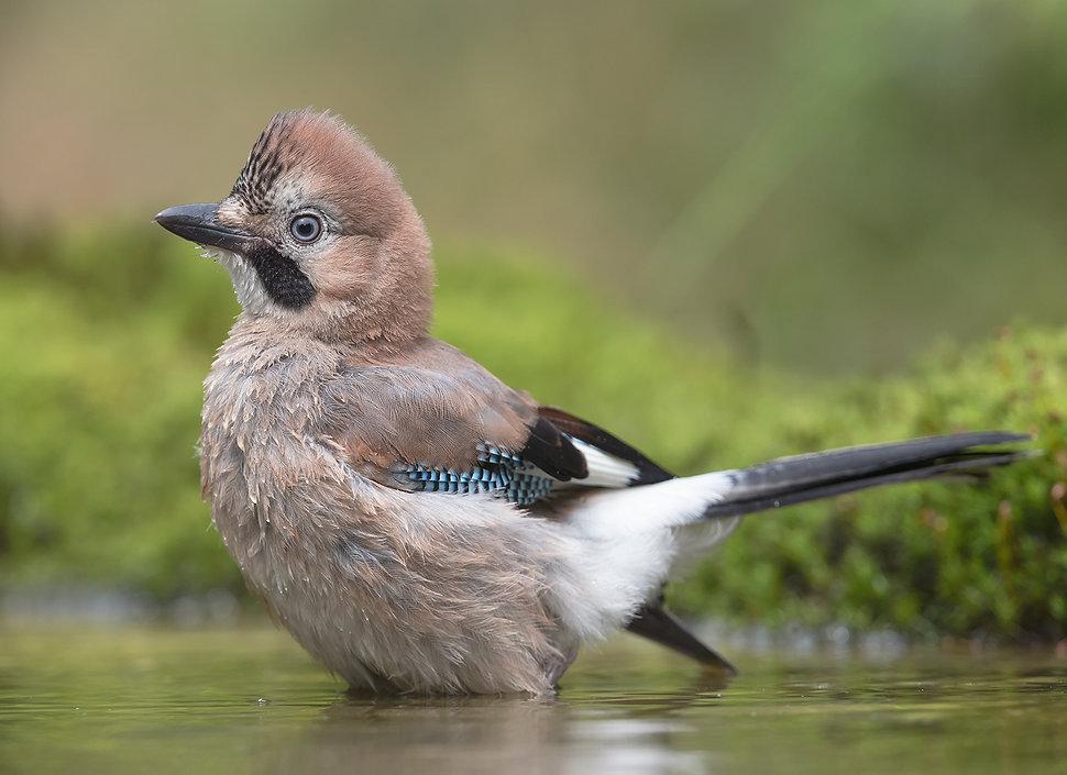 Vogelfotografe, Gaai