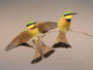 Vogelfotografie, Kleine groene bijeneterVogelfotografie, Kleine groene bijeneter