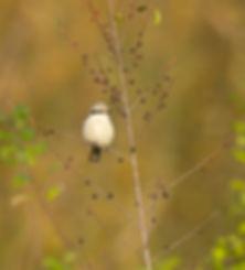 Vogelfotografie Klapekster.