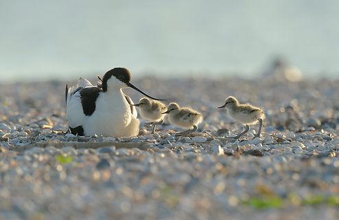 Vogelfotografie Texel.  Klutenfamilie met het late tegenlicht.