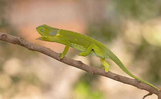Chameleon (Kameleon)