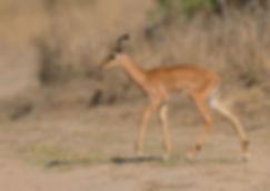 Zambia, Kafue NP, Impala.