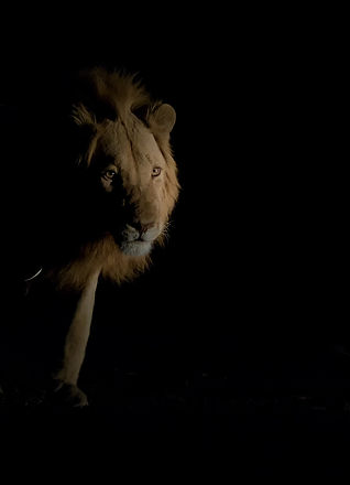 Lion (Leeuw)