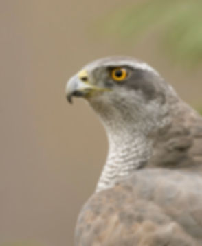 Vogelfotografie Havik.