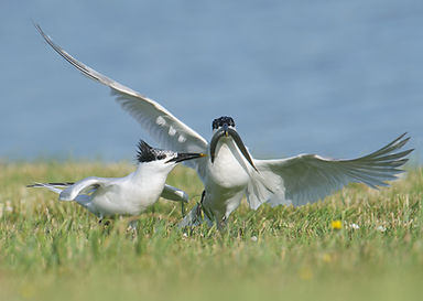 Vogelfotografie Texel. Grote Stern.