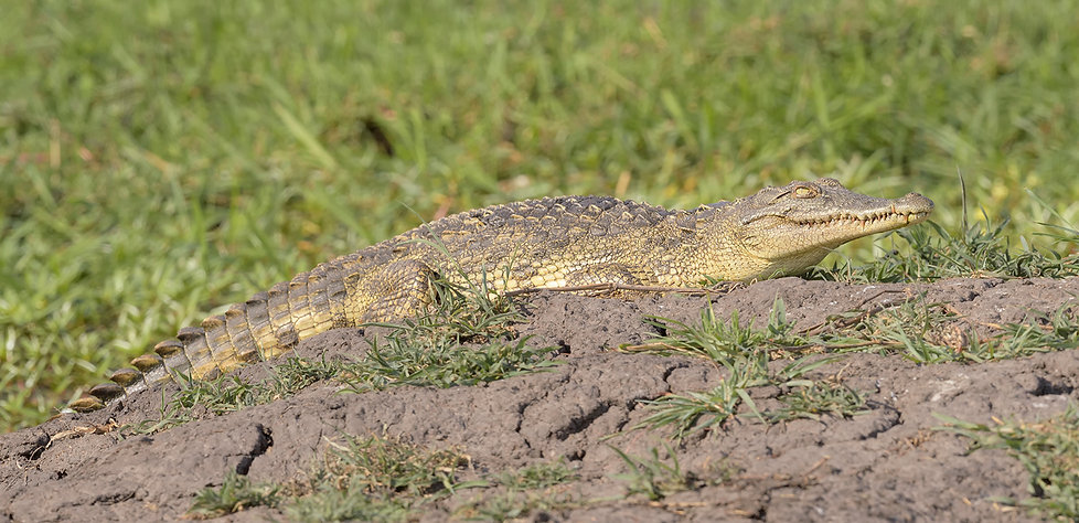 Zambia, Kafue NP, Krokodil.