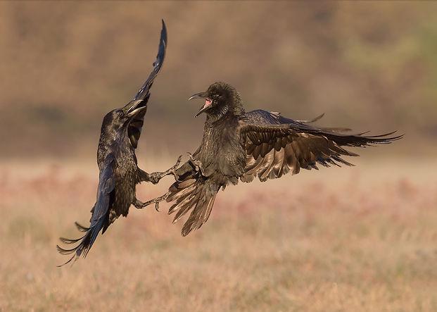 Vogelfotografie Polen, Raaf.