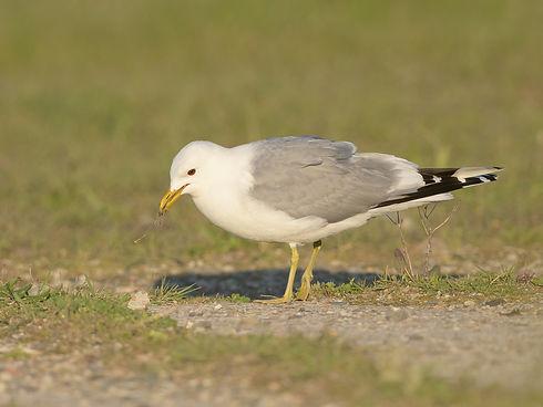 Vogelfotografie Texel.  Stormmeeuw