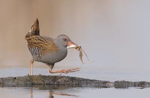 Vogelfotografie Waterral