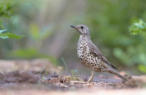 Vogelfotografie, Grote-Lijster