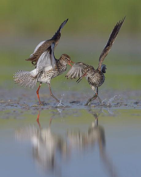 Tijdens de balts vechten de Tureluur regelmatig met de eigen partner!