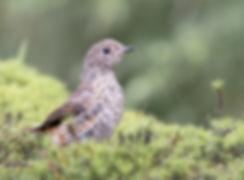 Vogelfotografie, juveniele Gekraagde Roodstaart