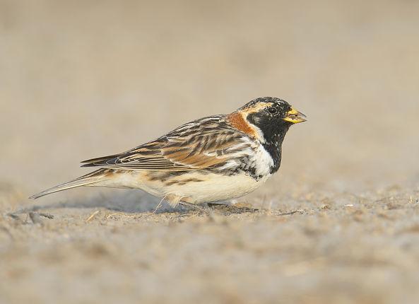 Vogelfotografie Texel. IJsgors.