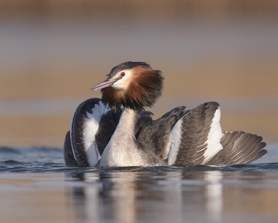 Vogelfotografie Fuut, Admiraal zeilen tijdens balts.