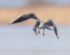 Vogelfotografie Bird in flight Kokmeeuw.