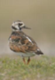 Vogelfotografie Texel. Steenloper.