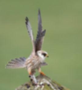 Vogelfotografie, Roodpootvalk, juveniel.