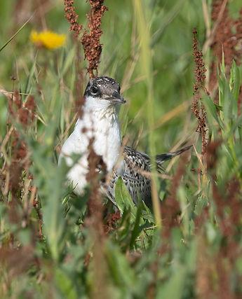 Vogelfotografie, Grote Stern, Texel