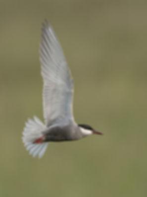 Vogelfotografie Hongarije, Witwangstern.