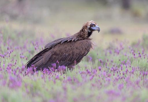 Vogelfotografie Toledo, Spanje,  Monniksgier.