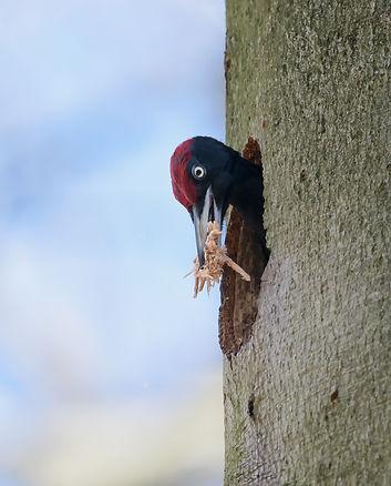 Vogelfotografie,  Zwarte Specht